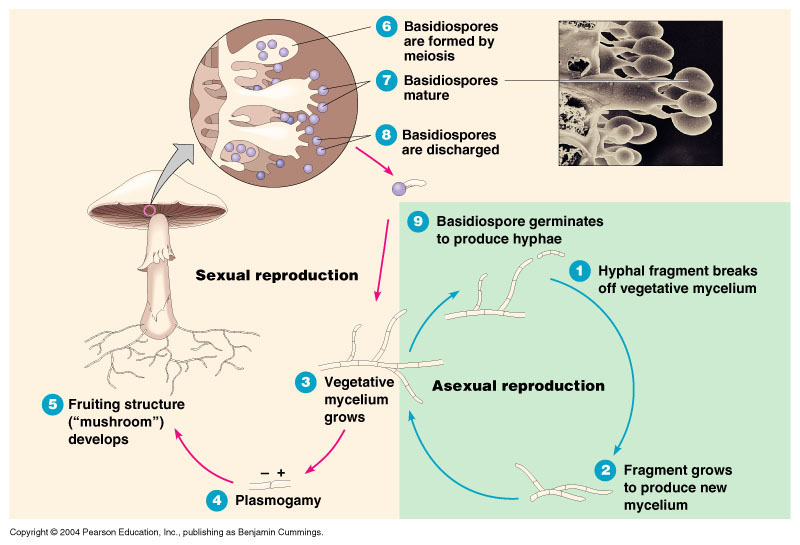 Bacterial conjugation asexual reproduction